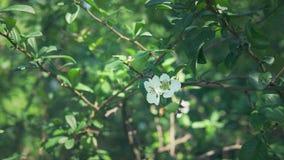 Close-up Um ramo de florescer o marmelo japon?s com fruto verde Arbusto do fruto com as flores brancas bonitas e o verde filme