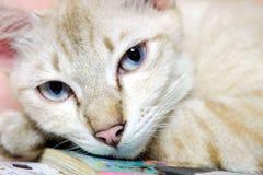 Close-up uma cara do gato tailandesa Imagens de Stock Royalty Free