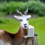 Close up uma gazela do Dama uma gazela da África Ocidental do sahara foto de stock royalty free