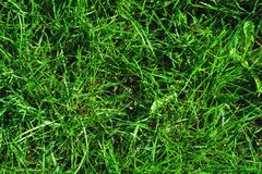 Close-up of uncultivated wild green lawn. View from above. Green juicy grass background for spring and summer.  Royalty Free Stock Image
