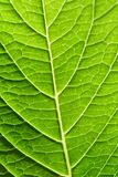 Close up Underside of Tropical Looking Green Hydrangea Leaf Stock Photos