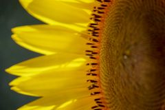 A close-up of a part of a yellow sunflower creates an abstract background. Macro photo. Close up of underside of yellow sunflower creates abstract background royalty free stock images