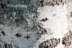 Close up of texture of birch bark background stock photo