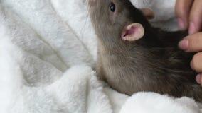 Cute rat in female hands