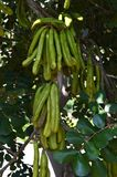 Close-up of Unripe Carob Tree Fruits, Nature, Modica, Sicily, Italy, Europe royalty free stock images