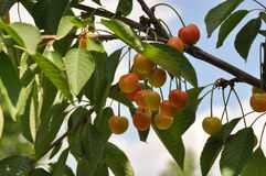 Unripe cherry. Close up of unripe cherry royalty free stock image
