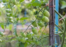 Close-up unripe green Cherry Tomato hanging on branch. In plantation royalty free stock photos