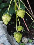 Close up of unripe green strawberries Royalty Free Stock Images
