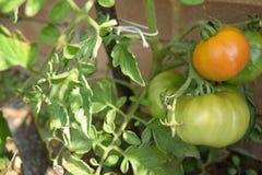 Close up of unripened tomatoes Stock Photo