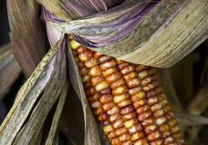 Close-Up Unusual Corn Cob. A close-up of an ear of corn with striated kernels, showing cob and husks stock image