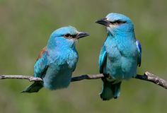 Close up and unusual photo of a pair european rollers. Sits on a branch against green blurry background stock image