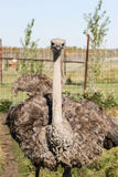 Close up up of ostrich Stock Images