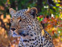 Close up of young african leopard sitting in the shade. The close up is from the upper body upwards at a slight angle. The cat appears to be resting between the stock photos