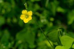 Upright Yellow Woodsorrel - Oxalis stricta. Close up of a Upright Yellow Woodsorrel flower. Also known as Common Yellow Oxalis, Common Yellow Woodsorrel, Lemon Stock Images