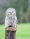 Ural Owl. Close up of an Ural Owl on a post Royalty Free Stock Photography
