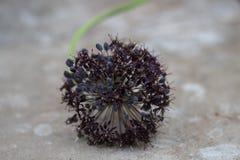 Close-up van één enkel Allium Wallichii royalty-vrije stock fotografie