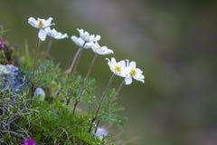 Close-up van aangestoken door zon aardige witte bloemen op hoge stammen met tien Royalty-vrije Stock Foto's
