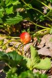 Close-up van aardbeien met witte bloem in de tuin Royalty-vrije Stock Afbeeldingen