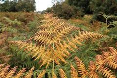Close-up van Adelaarsvarenvaren in de herfst stock afbeelding