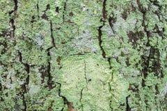 De Algen van de boom Royalty-vrije Stock Afbeeldingen