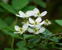 """Close-up van allegheniensis van Allegheny Blackberry †""""Rubus royalty-vrije stock afbeelding"""