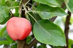 Close-up van appel het groeien op een boom Royalty-vrije Stock Fotografie