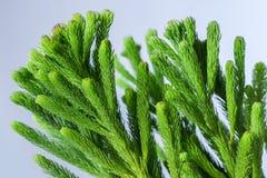 Close-up van araucaria steel op lichte achtergrond Royalty-vrije Stock Fotografie