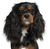 Close-up van Arrogante Koning Charles Spaniel Stock Foto