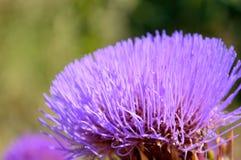 Close-up van artisjokbloem Royalty-vrije Stock Afbeeldingen