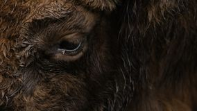 Close-up van aurochsoog stock videobeelden