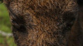 Close-up van aurochsoog stock footage