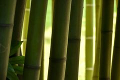 Close-up van bamboeboomstammen in een bamboebos, met aardige tinten van g Stock Fotografie