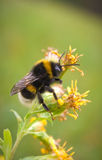 Close-up van bij op bloem Stock Afbeeldingen