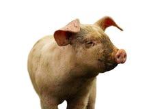 Close-up van binnenlands varken over wit royalty-vrije stock afbeelding