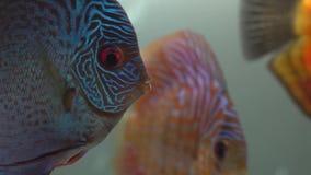 Close-up van blauw-rode pompadour vissen die in een zoetwateraquarium op blury bellen en tweede vissenachtergrond zwemmen kant stock videobeelden
