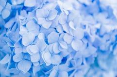 Close-up van blauwe hydrangea hortensia in de zomer royalty-vrije stock foto