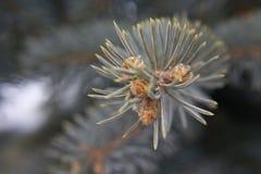 Close-up van blauwe jeneverbes Stock Afbeeldingen