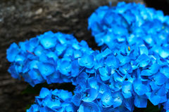 Close-up van blauwe macrophylla van de hydrangea hortensiahydrangea hortensia Royalty-vrije Stock Fotografie