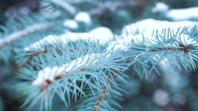 Close-up van blauwe nette tak met sneeuw Altijdgroene die boom met sneeuw in de winter wordt behandeld Close-up van bevallige sch stock videobeelden