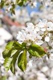 Close-up van bloeiende takjes Stock Afbeeldingen