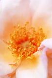 Close-up van bloem Stock Afbeeldingen