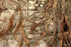 Close-up van Boomwortels die Muur behandelen Stock Foto