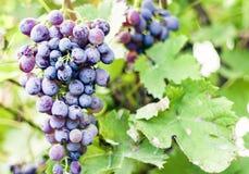 Close-up van bossen van de rijpe druiven van Shiraz op wijnstok royalty-vrije stock foto's