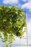 Close-up van bossen van rijpe rode wijndruiven op wijnstok, selectieve nadruk stock foto