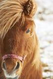 Close-up van bruin paard op een wintherdag Stock Afbeeldingen