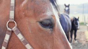 Close-up van bruin paardoog met andere paarden op achtergrond stock footage