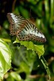 Close-up van bruine en blauwe vlinder op een blad Royalty-vrije Stock Afbeelding