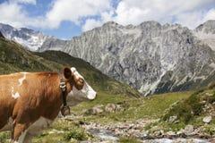 Close-up van bruine koe in Oostenrijkse/Italiaanse Alpen. Stock Foto's