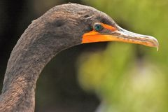Close-up van bruine Kuifaalscholver Royalty-vrije Stock Foto