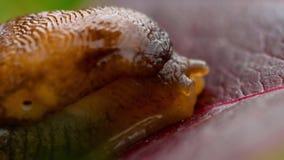 Close-up van bruine naaktslak stock videobeelden